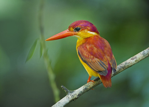 Rufous-backed Kingfisher_8473