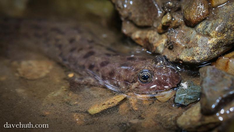 Seal Salamander (Desmognathus monticola) - in water