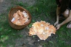 Cutting Chicken of the Woods Wild Mushrooms