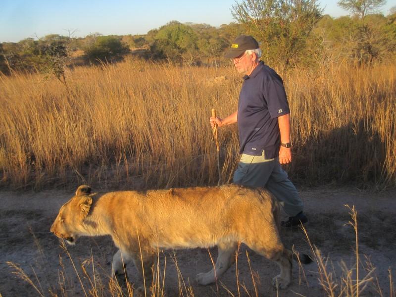 Lion Walking Zimbabwe Africa