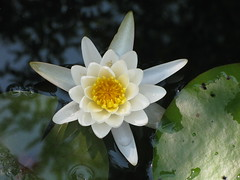 Pretty White Lotus Flower and Water Lilies