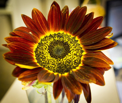 Red Sunflower  by Ricky L. Jones Photography