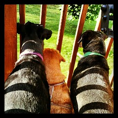 Lola, Sophie and Tut spotted a woodchuck! #dogs #deck #yard #critter #summer