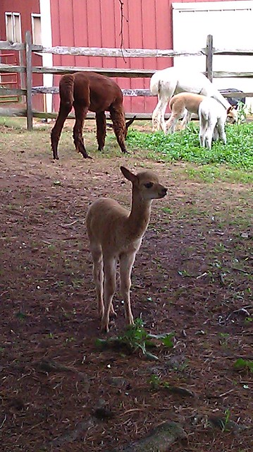 baby alpaca!