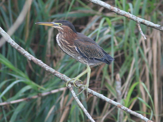 Green Heron immature 20120724