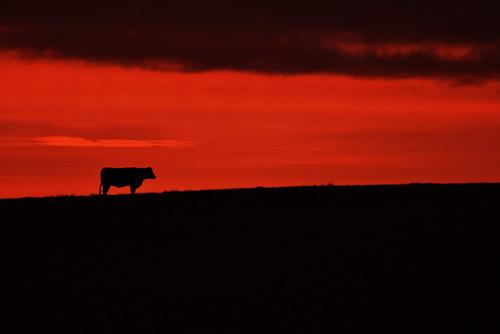 ireland sunset sky cloud animal cow donegal ballyshannon