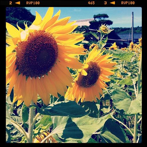 自宅から徒歩三分のとこにある向日葵畑