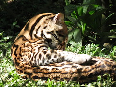 small to medium-sized cats(0.0), pet(0.0), cat(0.0), animal(1.0), big cats(1.0), zoo(1.0), mammal(1.0), jaguar(1.0), fauna(1.0), jungle(1.0), wildlife(1.0),