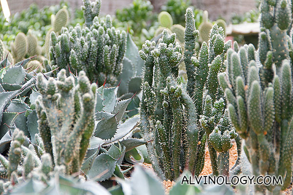 Different kinds of cactuses