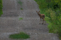 Fawn_3035.jpg by Mully410 * Images