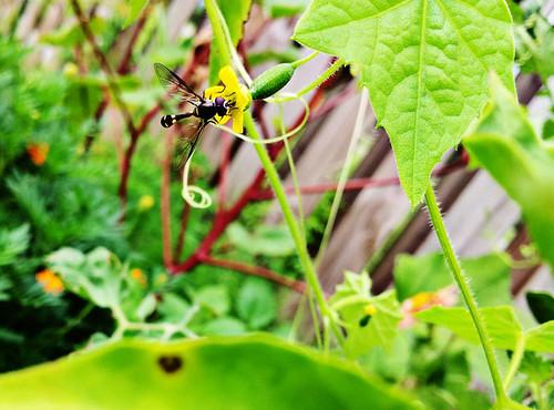 Mexican Gerkin Wasp