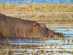 Hippo submerging
