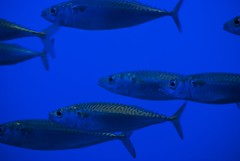 "Mackerel - same pattern as clouds in a ""mackerel sky"""