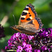 Small Tortoiseshell on Butterfly bush
