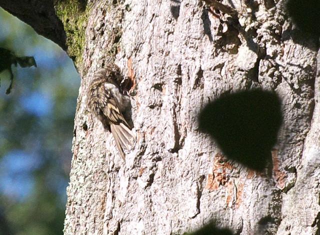 DSC_4441 Treecreeper