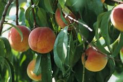 calamondin(0.0), citrus(0.0), flower(0.0), plant(0.0), produce(0.0), food(0.0), bitter orange(0.0), peach(1.0), branch(1.0), fruit(1.0),