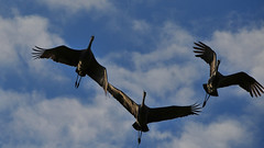 animal migration, animal, wing, fauna, bird migration, crane-like bird, crane, sky, bird, flight,