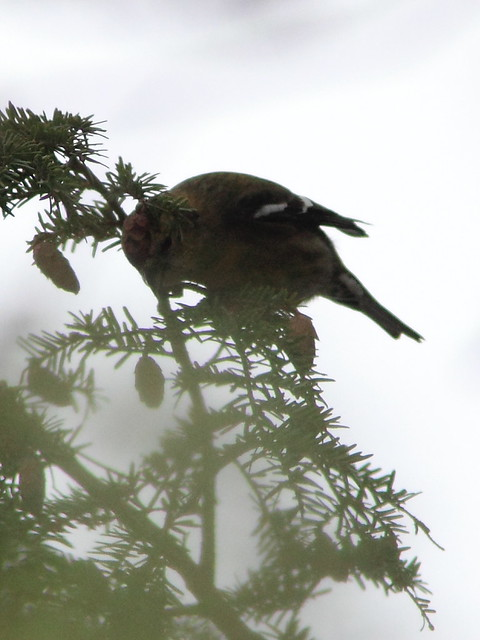 White-winged Crossbill 2-20121108