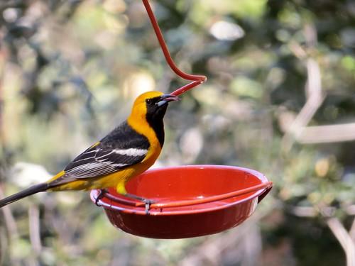 Non-breeding M Hooded Oriole, Silverado, CA (eating (bird) jelly)