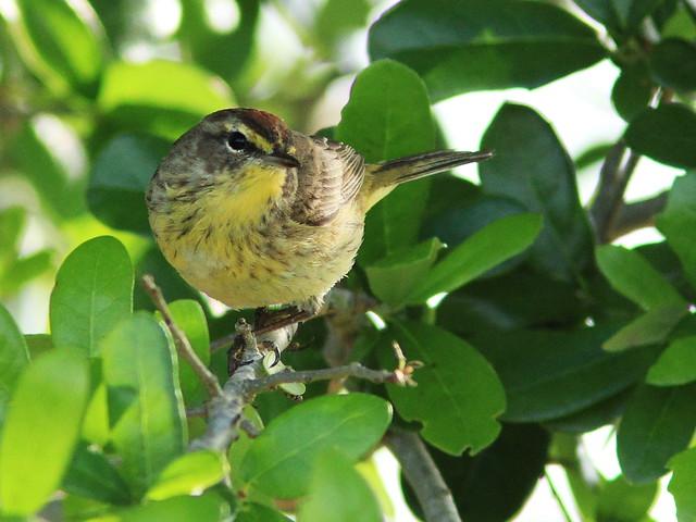 Palm Warbler 20140331