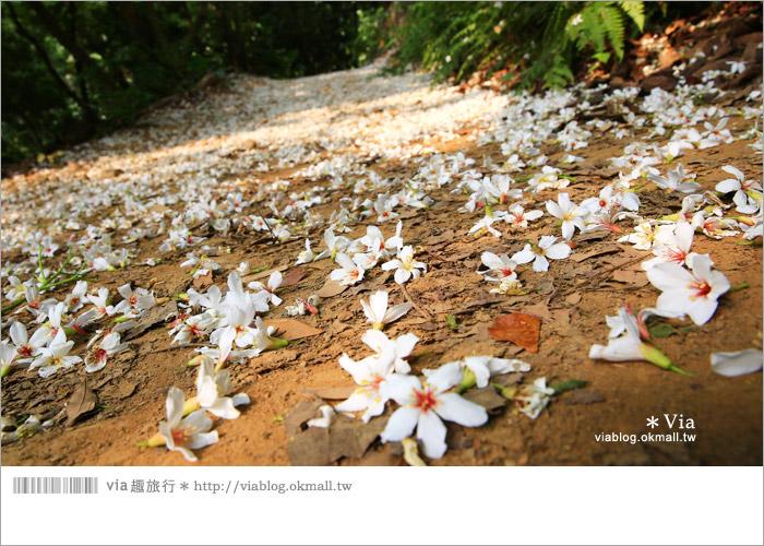 【彰化油桐花】福田桐花生態園區~雪白花毯!每年都會想再回訪的賞桐景點9