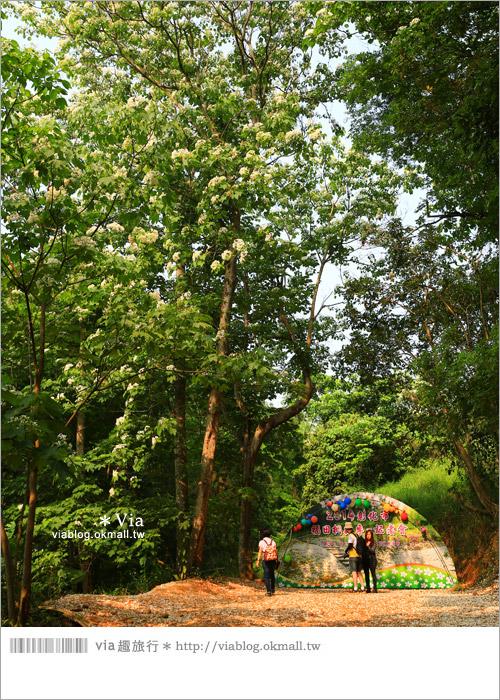 【彰化油桐花】福田桐花生態園區~雪白花毯!每年都會想再回訪的賞桐景點16