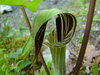 Jack-in-the-Pulpit (Arisaema)