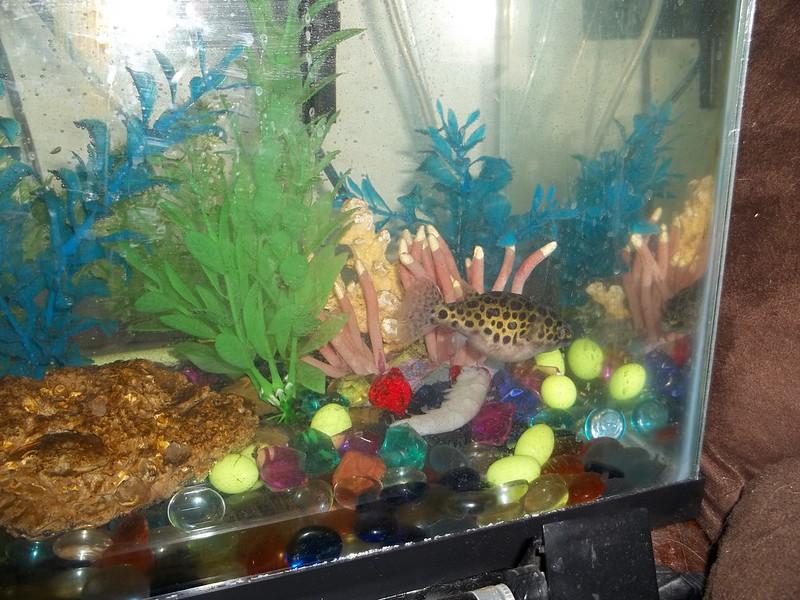 Puffer fish information pufferfish boxfish and cowfish for Blowfish vs puffer fish