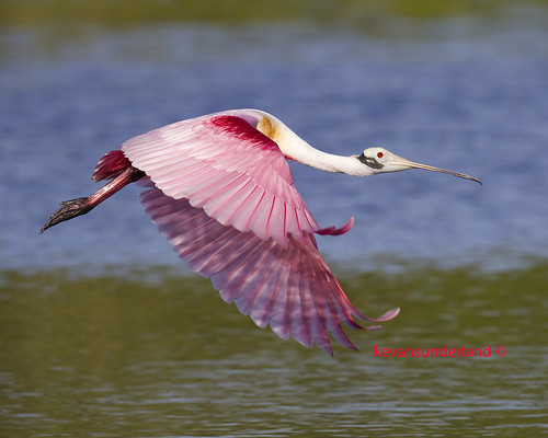 Roseate Spoonbill In Flight Eco Pond Everglades National Park