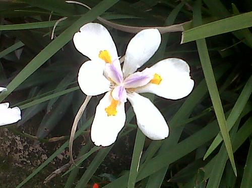 Iridaceae ( Dietes grandiflora ) by elprofedebiolo