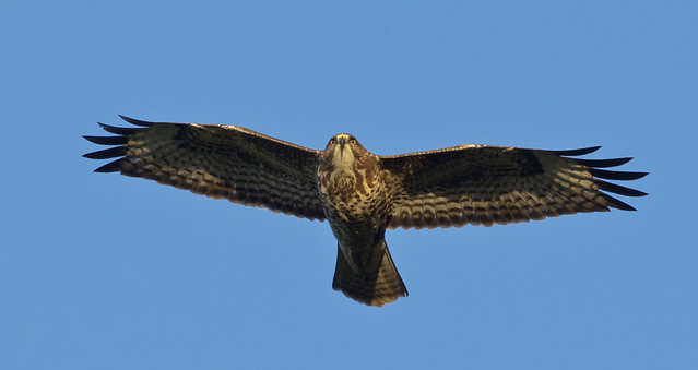 common buzzard 7