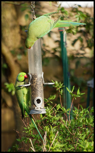 Ring-Neck Parakeets: Oi, haven't you finished yet?!