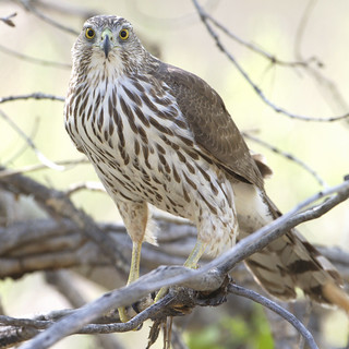 Coopers Hawk at eye level