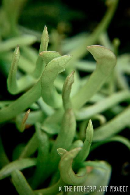 "Sarracenia ""Green Monster"" x purpurea rosea ""Big Mama"""