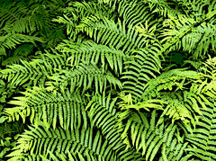 Ferns at Bradley Palmer (Digital Woodcut) by randubnick