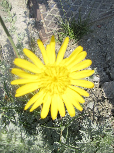 Doronicum grandiflorum - Doronico dei macereti