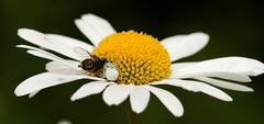 Thomisidae sp. on Leucanthemum sp. flower