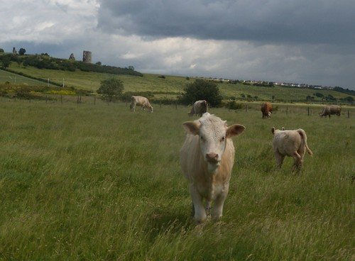 Cow with Hadleigh Castle