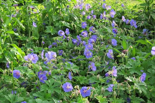 Töölönlahden puiston kukkia