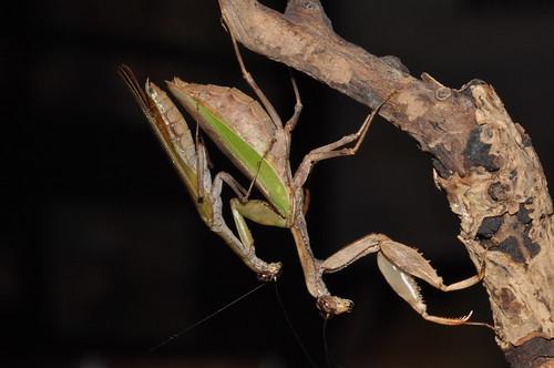 圖四:台灣姬螳螂的雄蟲爬到雌蟲身上,準備進行交尾。(王嘉靖攝影)