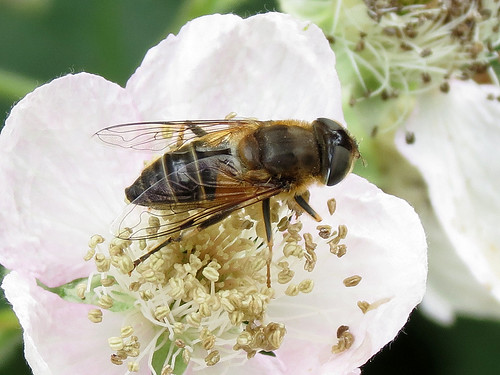 Hoverfly - Eristalis pertinax