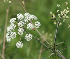 apiales(0.0), yarrow(0.0), blossom(0.0), shrub(0.0), produce(0.0), flower(1.0), branch(1.0), cow parsley(1.0), plant(1.0), macro photography(1.0), herb(1.0), anthriscus(1.0), flora(1.0), angelica(1.0), meadowsweet(1.0), caraway(1.0),