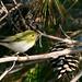 Wood Warbler (Stuart Elsom)