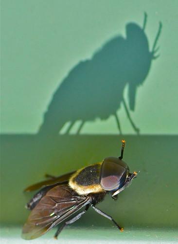 shadow macro bug insect horsefly tokina100mmf28atxprod tokina100mmf28 nikond5100