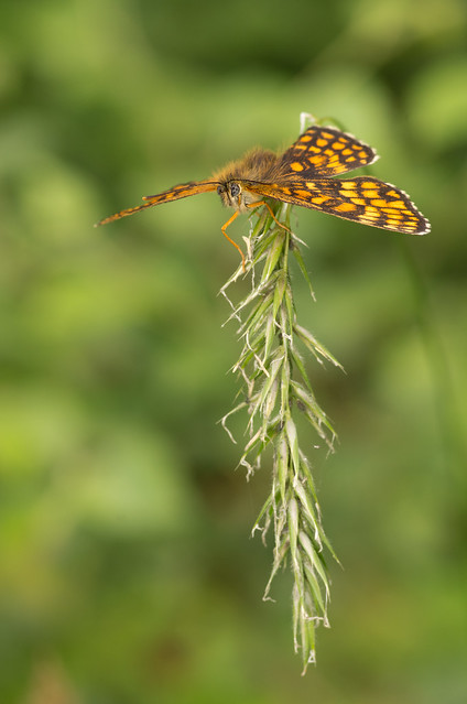 heath fritillary butterfly 2
