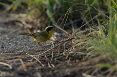 Yellow-throat_9544.jpg by Mully410 * Images