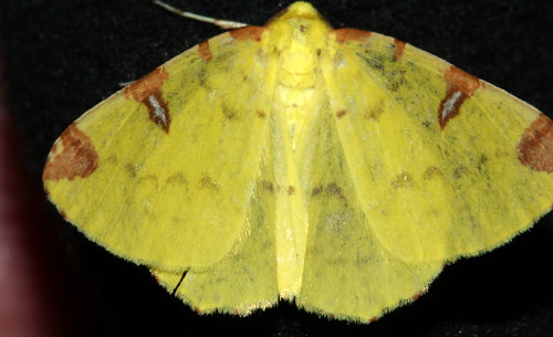 Brimstone Moth 10330