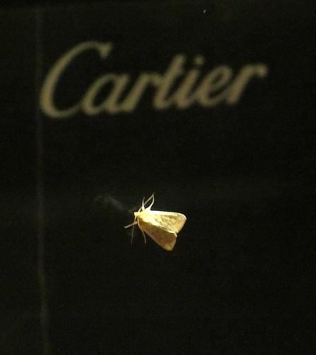 Cartier moth