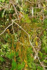 Mistletoe of Whitsunday Shire