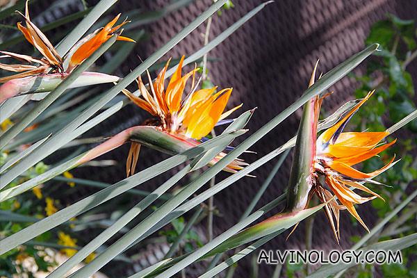 Bird-of-paradise plants